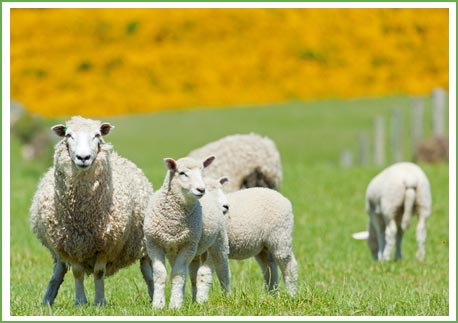 Sheep on a farm visited by Firmount Veterinary Clinic