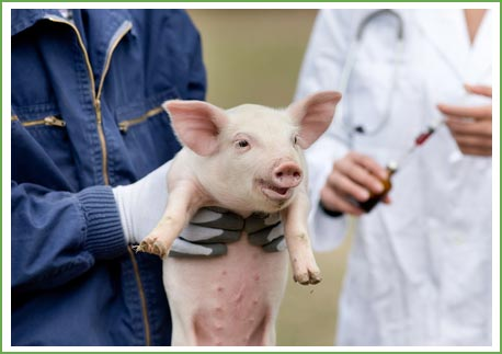 Piglet being injected at Firmount Veterinary Clinic